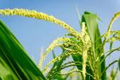 Flor de closeup de milho. — Fotografia Stock