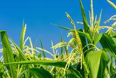 Closeup of Corn flower. — Stock Photo