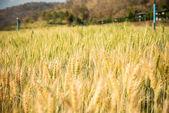 Barley Fields — Stock Photo