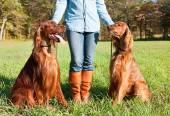 Irish Setter dogs — Stock Photo