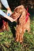 Cachorro com sede — Foto Stock