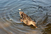 Duck in the water. — Stock Photo