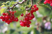 Ripe red-currents. — Stock Photo
