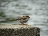 Dreary sparrow. — Stock Photo