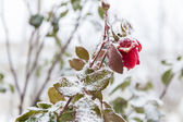 Stilled rose — Stock Photo
