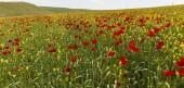 Poppy field.Ismaillinskie mountains. Azerbaijan — Stock Photo
