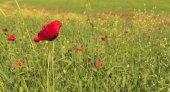Poppy on poppy field.Ismaillinskie mountains. Azerbaijan — Stock Photo