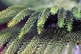 Green pine — Stock Photo
