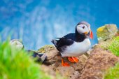 Beautiful vibrant picture of Atlantic Puffins on Latrabjarg cliffs - western-most part of Europe and Europe's largest bird cliff, Iceland — Stock Photo