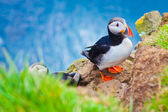 Beautiful vibrant picture of Atlantic Puffins on Latrabjarg cliffs - western-most part of Europe and Europe's largest bird cliff, Iceland — Stockfoto