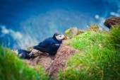 Beautiful vibrant picture of Atlantic Puffins on Latrabjarg cliffs - western-most part of Europe and Europe's largest bird cliff, Iceland — Stock fotografie