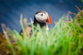 Beautiful vibrant picture of Atlantic Puffins on Latrabjarg cliffs - western-most part of Europe and Europe's largest bird cliff, Iceland — Fotografia Stock