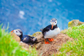 Beautiful vibrant picture of Atlantic Puffins on Latrabjarg cliffs - western-most part of Europe and Europe's largest bird cliff, Iceland — 图库照片