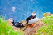 Beautiful vibrant picture of Atlantic Puffins on Latrabjarg cliffs - western-most part of Europe and Europe's largest bird cliff, Iceland — Stok fotoğraf