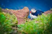 Beautiful vibrant picture of Atlantic Puffins on Latrabjarg cliffs - western-most part of Europe and Europe's largest bird cliff, Iceland — Foto de Stock