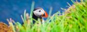 Beautiful vibrant picture of Atlantic Puffins on Latrabjarg cliffs - western-most part of Europe and Europe's largest bird cliff, Iceland — Foto Stock