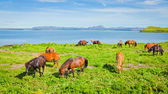 Icelandic Horses on a meadow near beautiful landscape of a famous tourist place - lake Myvatn in Iceland in the north — Stock Photo