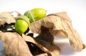 Acorns and leafs — Stock Photo