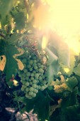 Grapes in the vineyard at sunset — Stock Photo