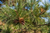Pine — Stock Photo