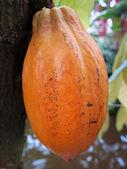 One cocoa bean — Stock Photo