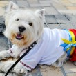 Little cute West Highland Terrier - Westie - in Ukrainian national costume — Stock Photo #51893287
