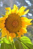 Büyük sarı ayçiçeği portre — Stok fotoğraf