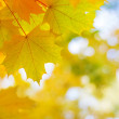 Autumnal golden maple leaves in blurred background — Stock Photo #58565475
