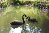 Black swans in a pond — Stock Photo