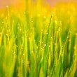 Grass-blades with drops of water — Stock Photo #66659561