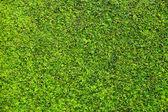 Trimmed bush texture — Stock Photo