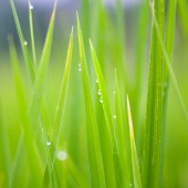 Grass-blades with drops of morning dew — Stock Photo
