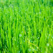 Grass blades with drops of morning dew — Stockfoto