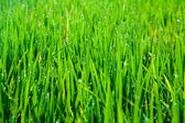 Grass blades with drops of morning dew — Stock Photo