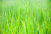 Grass with drops of morning dew — Stock Photo