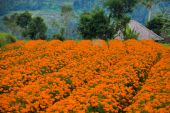 Marigold flowerbeds on the mountains — Stock Photo