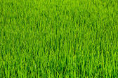 Rice field grass texture — Stock Photo