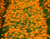 Marigold flowerbeds — Stock Photo