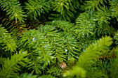 Fir needles with dewdrops — Stock Photo