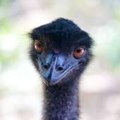 Ostrich portrait close up — Stock Photo