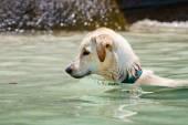 Swimming dog in the sea — Stock Photo