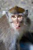 Monkey portrait with a grin — Stock Photo