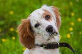 Portrait de chien épagneul — Photo