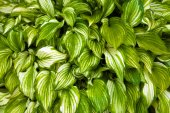 Unusual striped foliage — Stock Photo