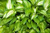 Unusual striped foliage — Stock Photo
