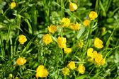 Yellow Buttercups field — Stock Photo