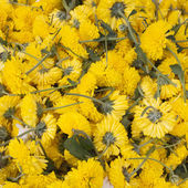 Yellow flowers without stems. — Stock Photo