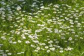 Picturesque chamomile field — Stock Photo