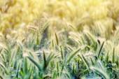 Sabah güneşi kulaklarında çayır çim — Stok fotoğraf