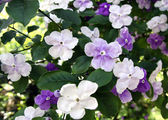 Brunfelsia pauciflora — Stock Photo